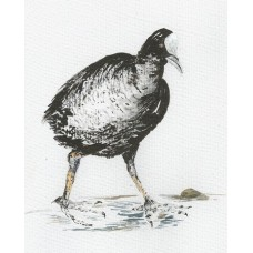 Prints - Limited Edition Prints - Coot