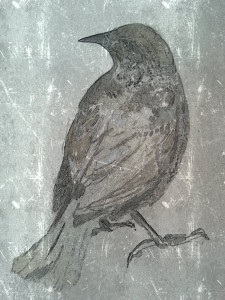 Black bird - female